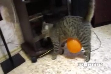 Chat vs ballon électrostatique